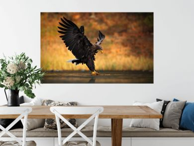 White-tailed Eagle, Haliaeetus albicilla, feeding kill fish in the water, with brown grass in background, bird landing, eagle flight, Norway