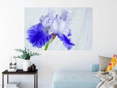 Beautiful iris flower closeup