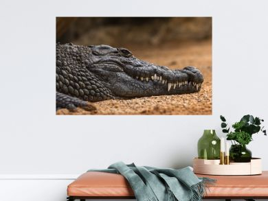 Nile crocodile Crocodylus niloticus, close-up detail of teeth with blood of the Nile crocodile open eye, Sharpened teeth of dangerous predator