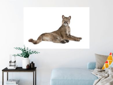 Portrait of Puma cub, Puma concolor, 1 year old, lying against white background, studio shot