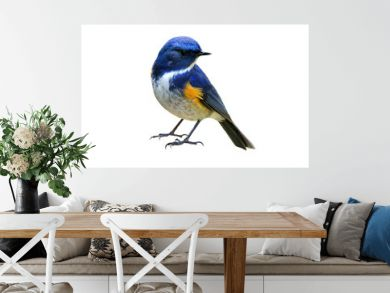 Himalayan bluetail or Red-flanked,Orange-flanked bush-robin (Tarsiger rufilatus) lovely blue bird with yellow marking on its wings isolated on white background, fascinated nature