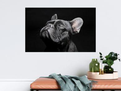 Black French Bulldog with close eyes