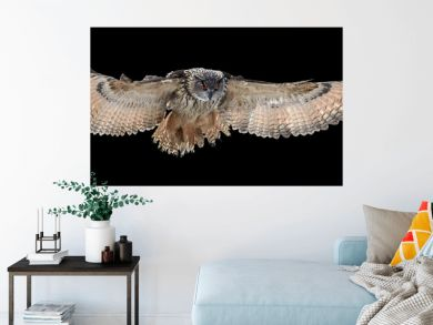 Isolated on black background, Eagle owl, Bubo bubo, giant owl flying directly at camera with fully outstretched wings. Owl with bright orange eyes. Nocturnal bird of prey in back light.