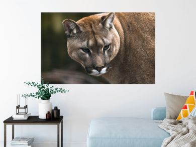 Puma (Puma concolor), a large Cat mainly found in the mountains from southern Canada to the tip of South America. Also known as cougar, mountain lion, panther, or catamount