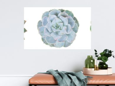Succulent on white