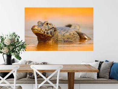 Yacare Caiman, gold crocodile in the dark orange evening water surface with sun, nature river habitat,  Pantanal, Brazil. Wildlife scene from nature. Crocodile, sunset.