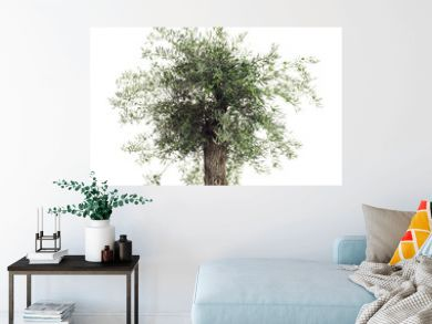 Freisteller Olivenbaum mit Oliven vor weißem Hintergrund  - Olive tree with olives on a white background