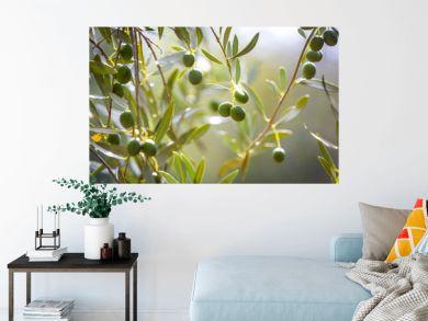 Oliven am Baum kurz vor der Ernte