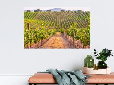 Vines in a vineyard in Alentejo region, Portugal, at sunset