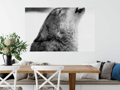 Close-up portrait of a howling wolf. Black and white film photo