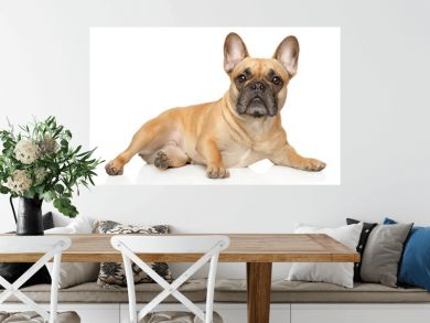 French bulldog lies and stares
