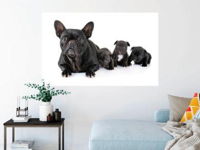 family french bulldog