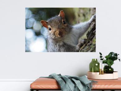 Cheeky grey squirrel portrait