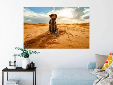 Dromedary camel in Sahara desert, Merzouga, Morocco