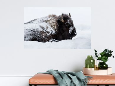 American Bison (Bison bison)  aka buffalo laying down in the snow in Yellowstone National Park