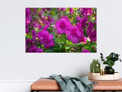 Pink azalea bush on a background of green leaves. Delightful purple azalea flowers. Beautiful flowers close up. Season of flowering azaleas.