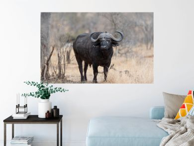 Cape buffalo, African buffalo in the wilderness