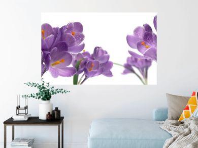 bouquet de fleurs violettes crocus