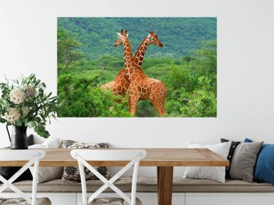 Fight of two giraffes
