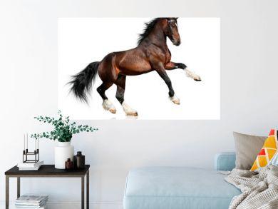 Bay horse isolated on white background