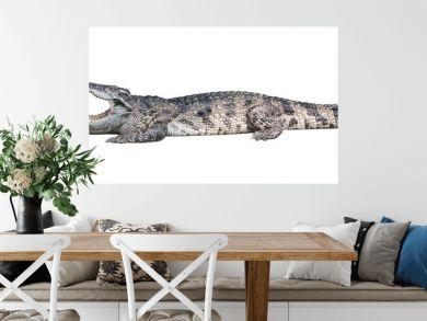 Dangerous crocodile isolated on white background