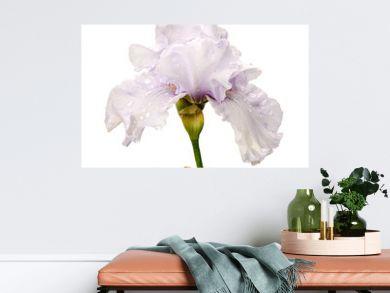 white iris flower isolated on white background
