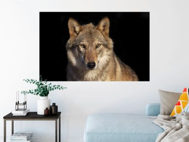 Eye to eye portrait with grey wolf female on black background. Horizontal image. Beautiful and dangerous beast of the forest.