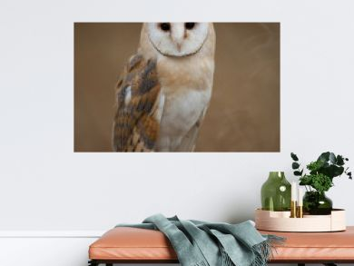 Barn owl sitting on perch with clean background, Czech Republic