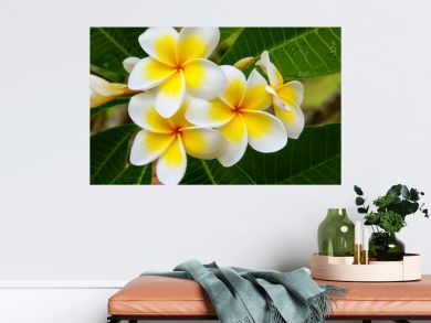 White and yellow plumeria flowers