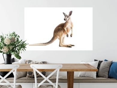 Red Kangaroo on White