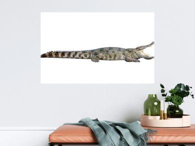 Wildlife crocodile open mouth isolated on white background