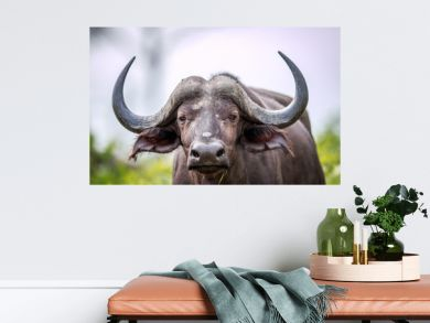 Cape buffalo starring at the camera.