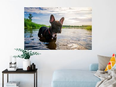 funny dog French Bulldog in water