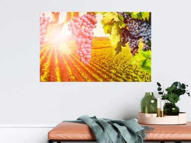 Branch of grapes ready for harvest. Picturesque aerial view of vineyard at sunset in Napa Valley, San Francisco Bay, California. Red grapes hanging in vineyard. Seasonal background.