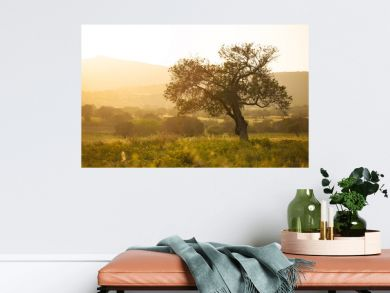 Olive tree at sunset light