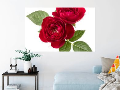 two red rose flowers  isolated with leaves on white background cutout