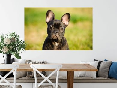 French Bulldog puppy outdoor portrait against grass