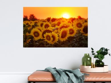 Setting sun on the sunflower field