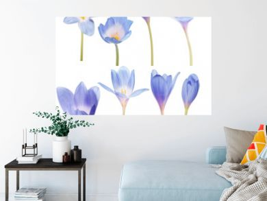 collection of eight blue crocus flowers on white