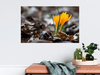 Sprouting crocus in spring garden - elective focus, copy space