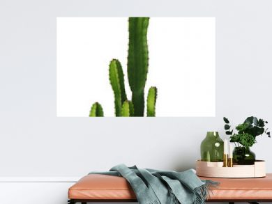 Ornamental spiny plant with green succulent stems of cactus isolated on white background, clipping path included.