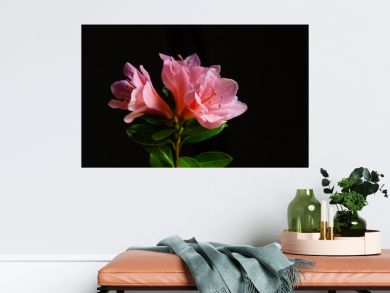 Closeup of pink azalea flowers isolated on black background