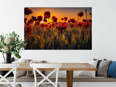 Colorful scene of lots of poppies at sunrise growing in a field of wheat