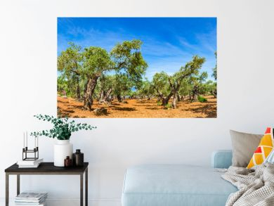 Olive tree agriculture plantation with blue sunny sky background