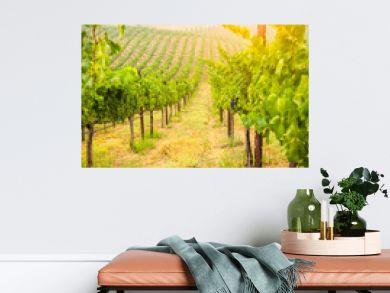 Beautiful Wine Grape Vineyard In The Morning Sun