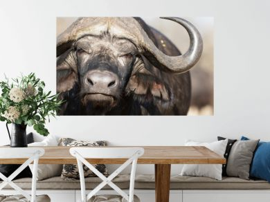 Portrait of african cape buffalo