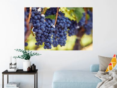 Row of vineyards with blue grapes in autumn day
