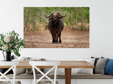 African Buffalo - Syncerus caffer or Cape buffalo is a large Sub-Saharan African bovine. Portrait in the bush in Zimbabwe