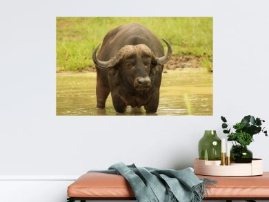 Water buffalo in a river surrounded by the grass and dirt under the sunlight
