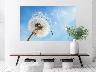 Dandelion clock dispersing seed